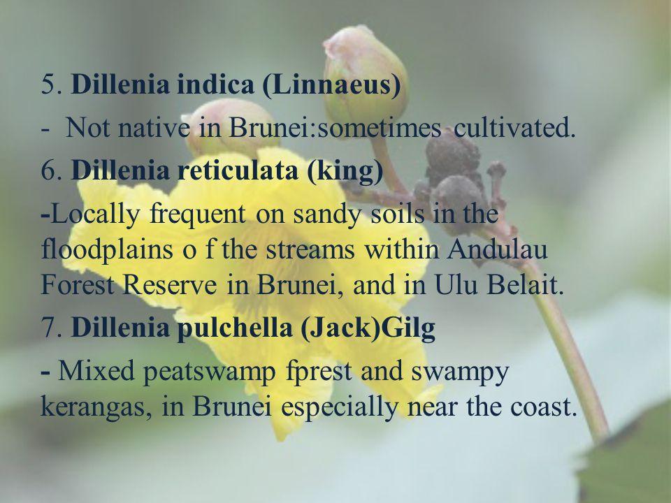 5. Dillenia indica (Linnaeus)