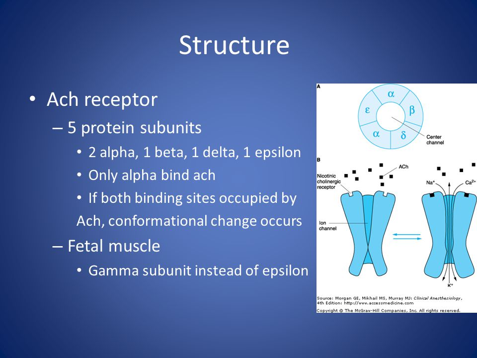 Structure Ach receptor 5 protein subunits Fetal muscle