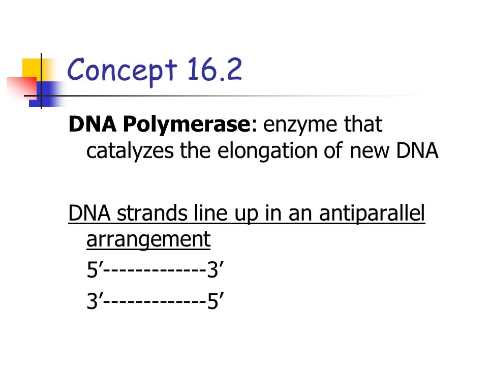 Concept 16.2 DNA Polymerase: enzyme that catalyzes the elongation of new DNA. DNA strands line up in an antiparallel arrangement.