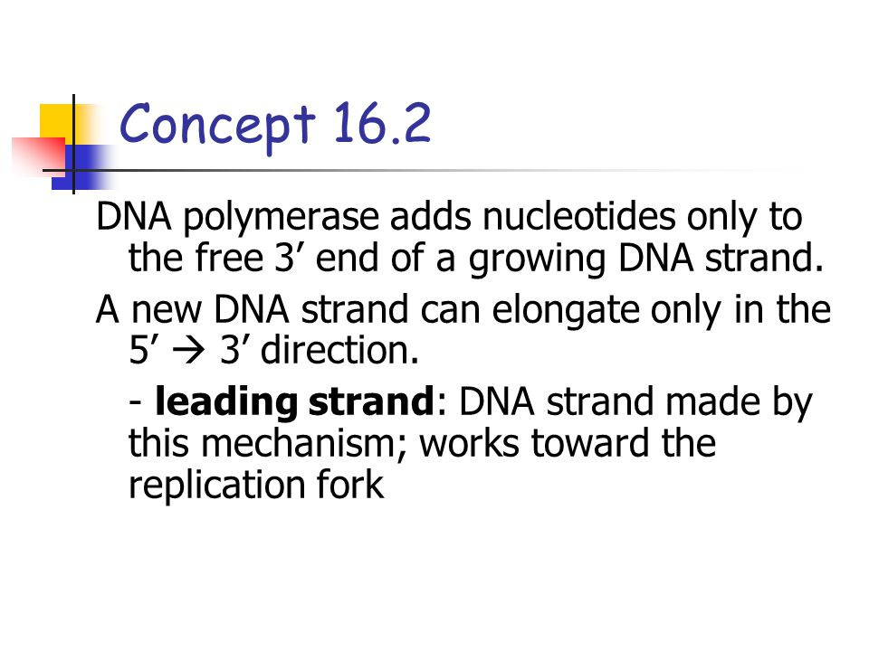 Concept 16.2 DNA polymerase adds nucleotides only to the free 3' end of a growing DNA strand.