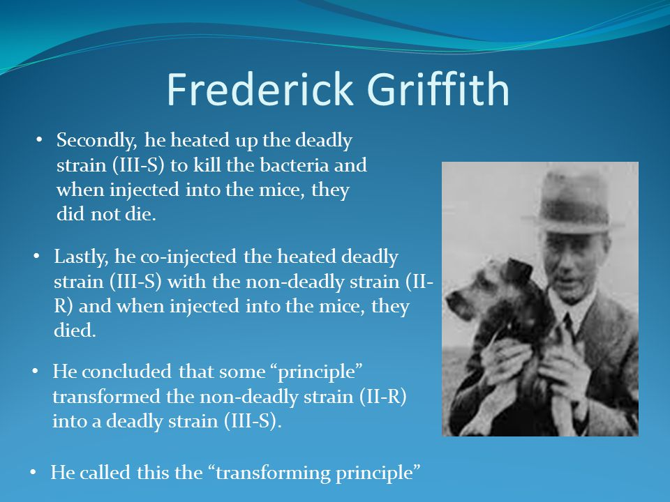 Frederick Griffith Secondly, he heated up the deadly strain (III-S) to kill the bacteria and when injected into the mice, they did not die.