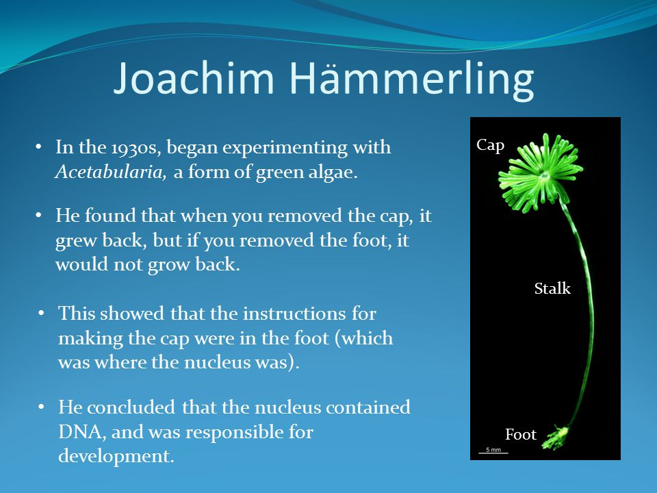 Joachim Hammerling .. In the 1930s, began experimenting with Acetabularia, a form of green algae. Cap.