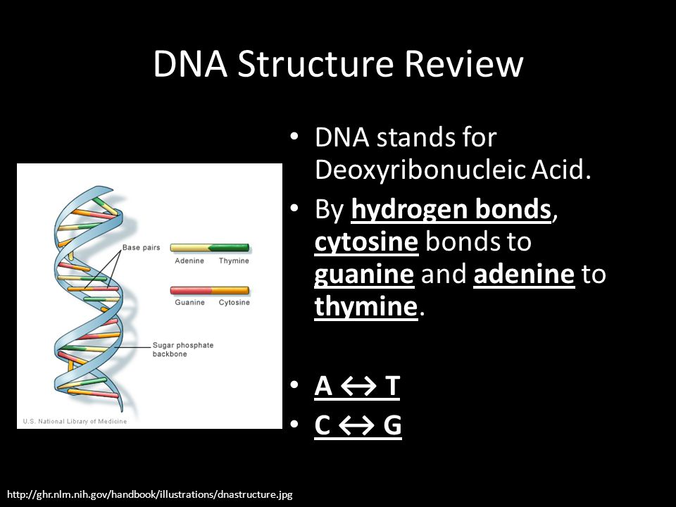 DNA Structure Review DNA stands for Deoxyribonucleic Acid.