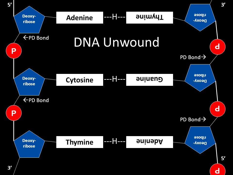 DNA Unwound ---H--- ---H--- ---H--- P Adenine Thymine P Guanine