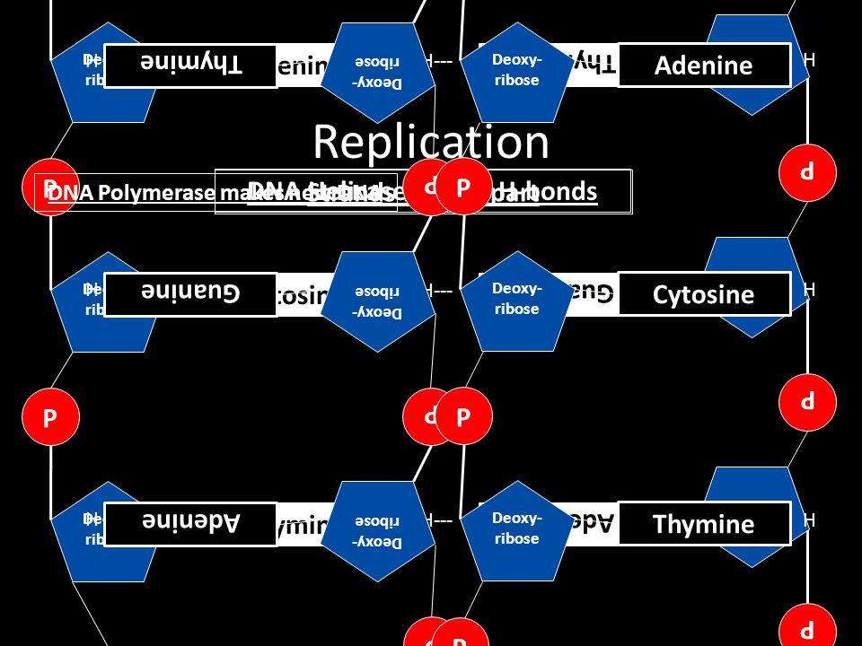 DNA Polymerase makes new DNA DNA Helicase breaks H-bonds