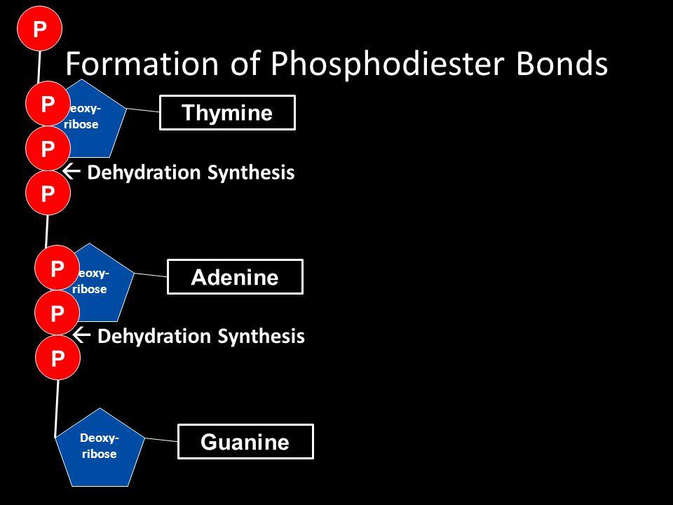 Formation of Phosphodiester Bonds