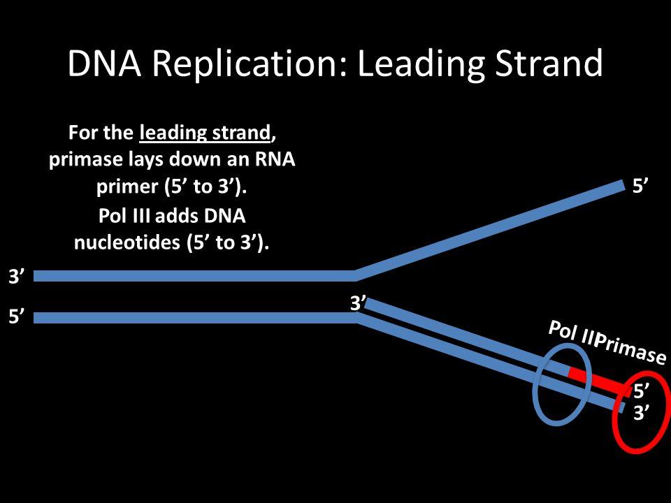 DNA Replication: Leading Strand