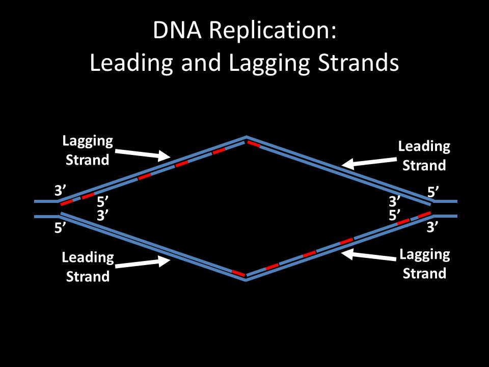 DNA Replication: Leading and Lagging Strands