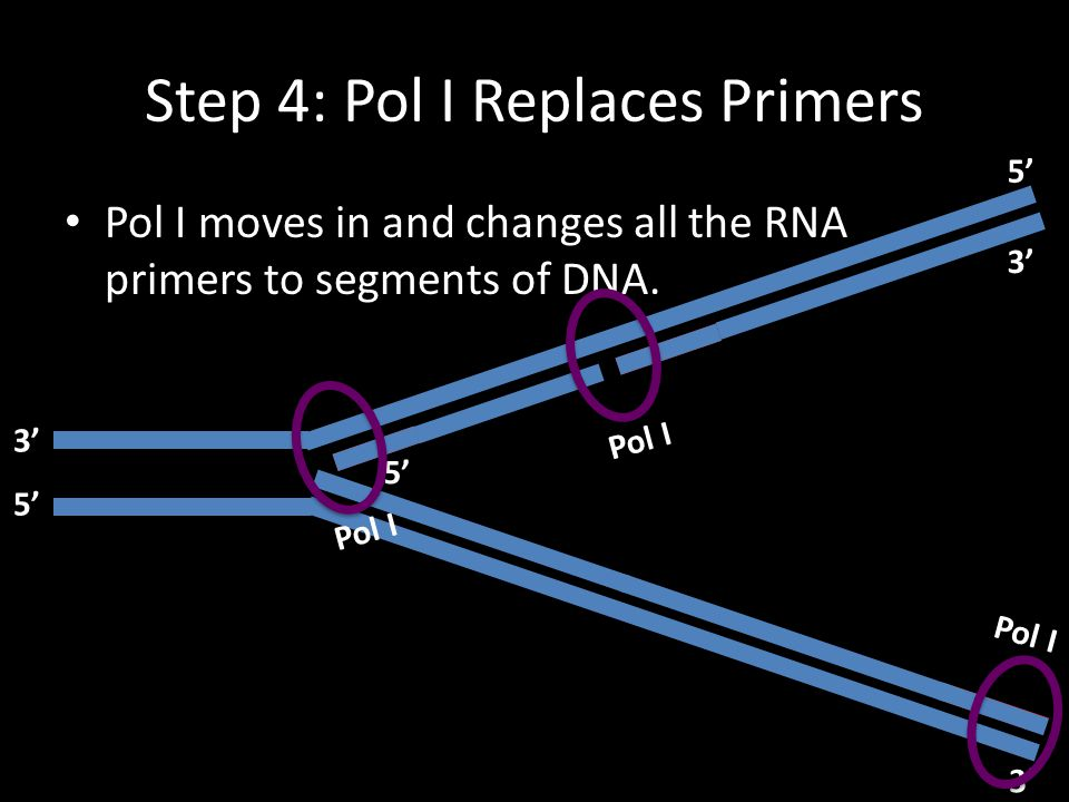 Step 4: Pol I Replaces Primers