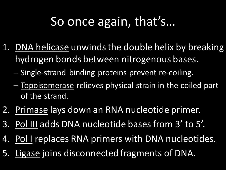 So once again, that's… DNA helicase unwinds the double helix by breaking hydrogen bonds between nitrogenous bases.