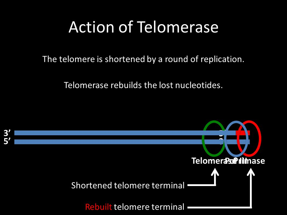 Action of Telomerase The telomere is shortened by a round of replication. Telomerase rebuilds the lost nucleotides.