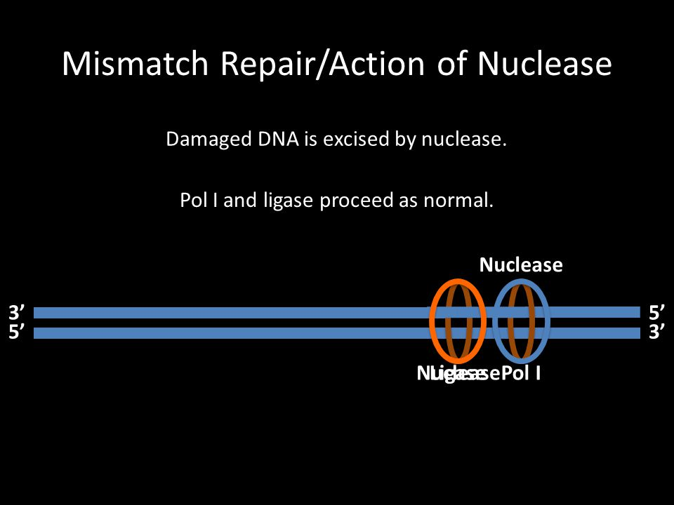 Mismatch Repair/Action of Nuclease