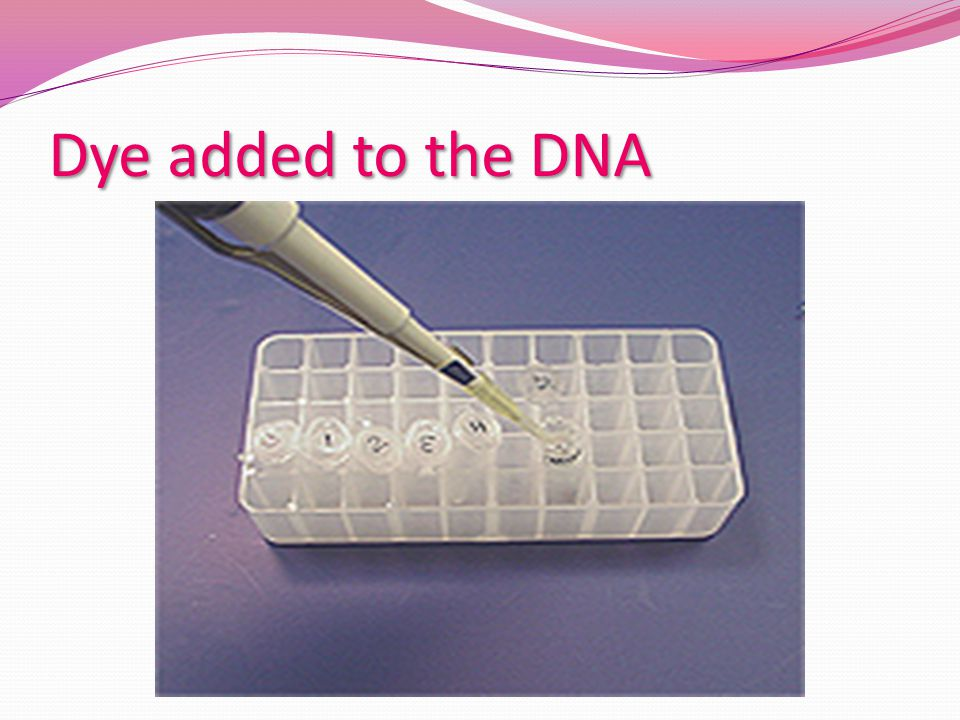Dye added to the DNA Makes the sample visible when it is put into the agarose wells