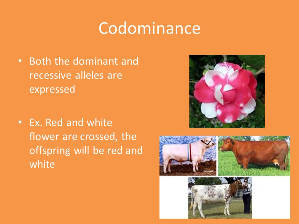 Codominance Both the dominant and recessive alleles are expressed
