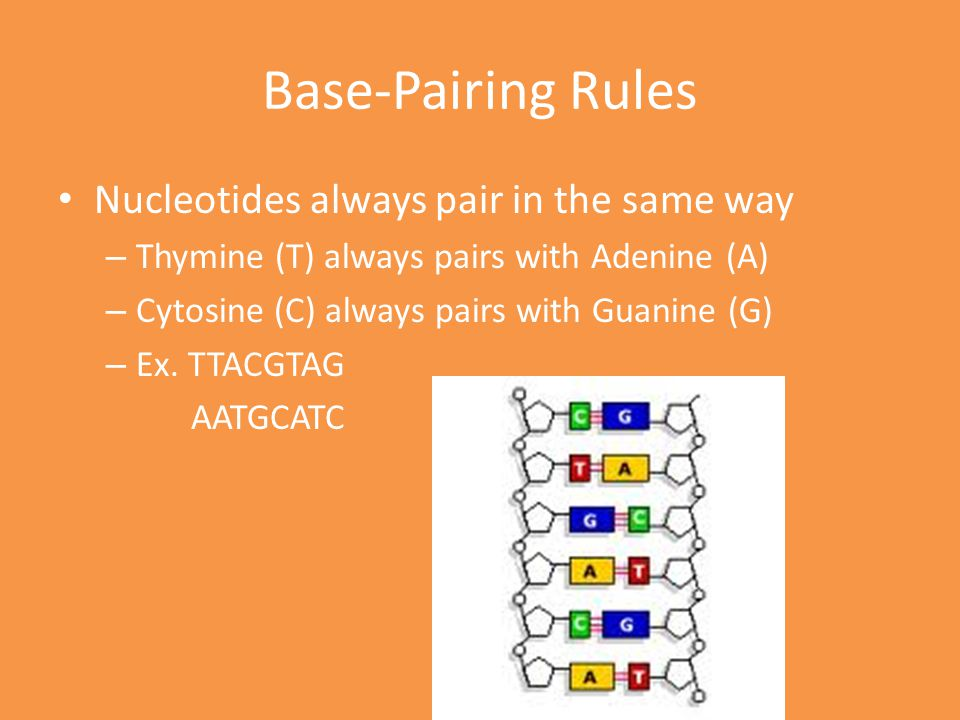 Base-Pairing Rules Nucleotides always pair in the same way