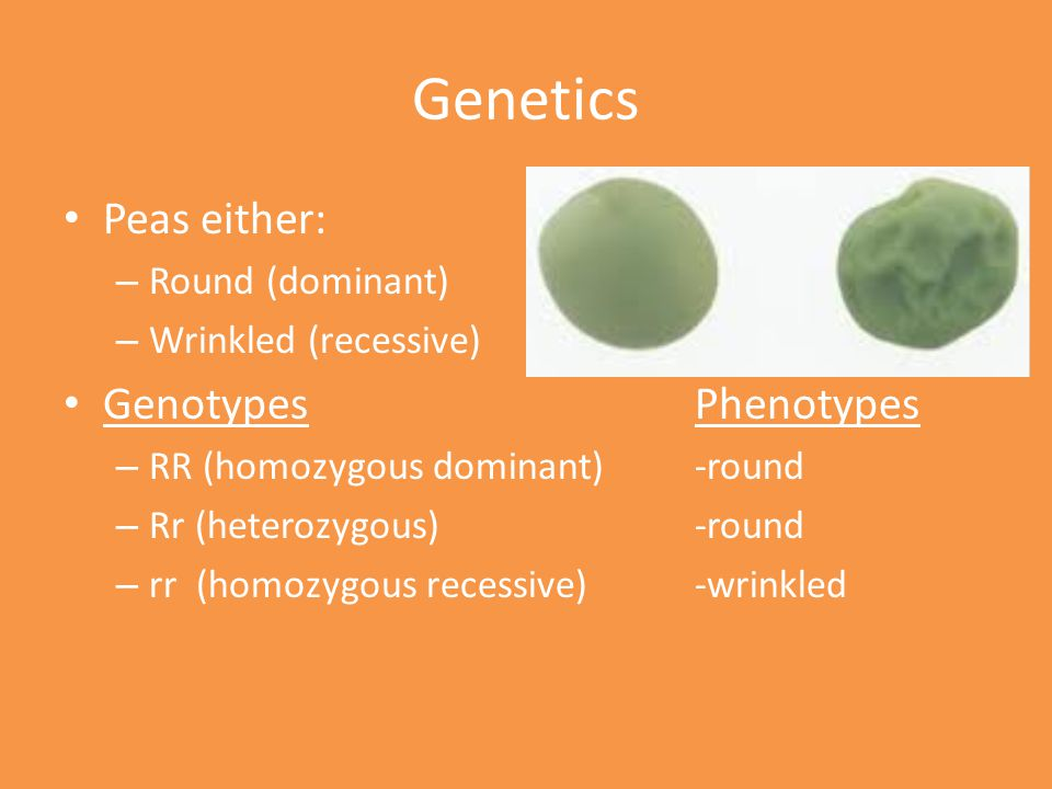 Genetics Peas either: Genotypes Phenotypes Round (dominant)