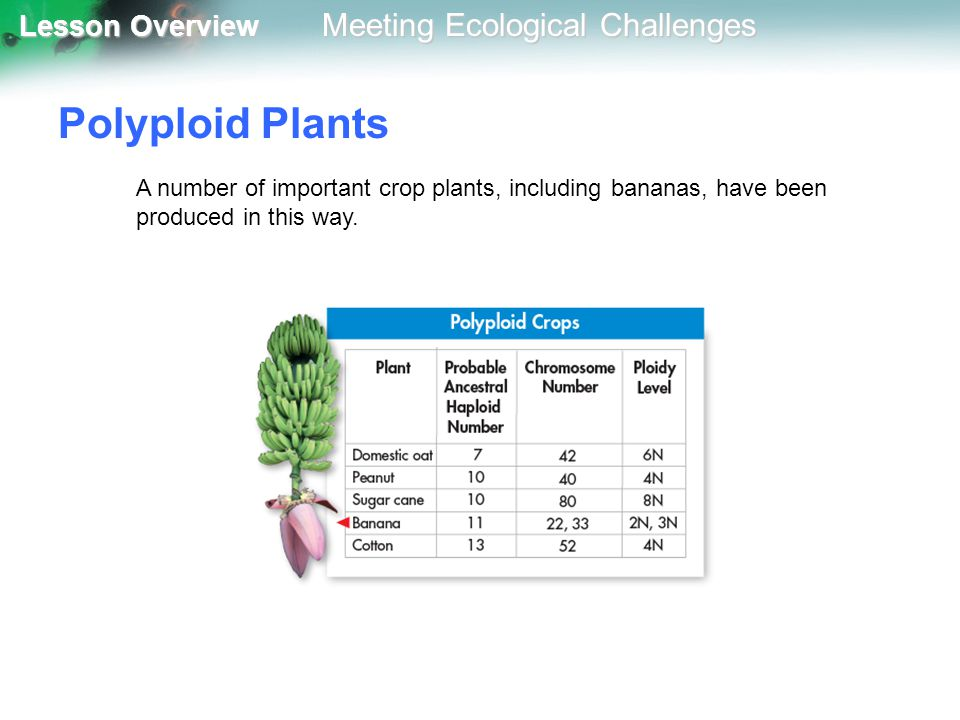 Polyploid Plants A number of important crop plants, including bananas, have been produced in this way.