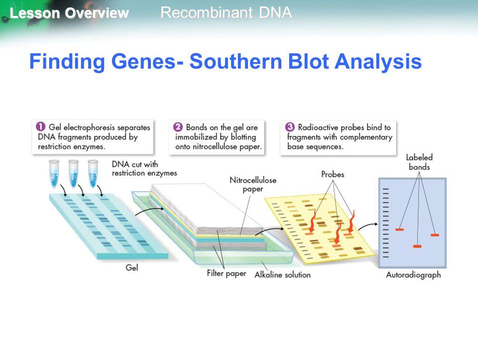 Finding Genes- Southern Blot Analysis