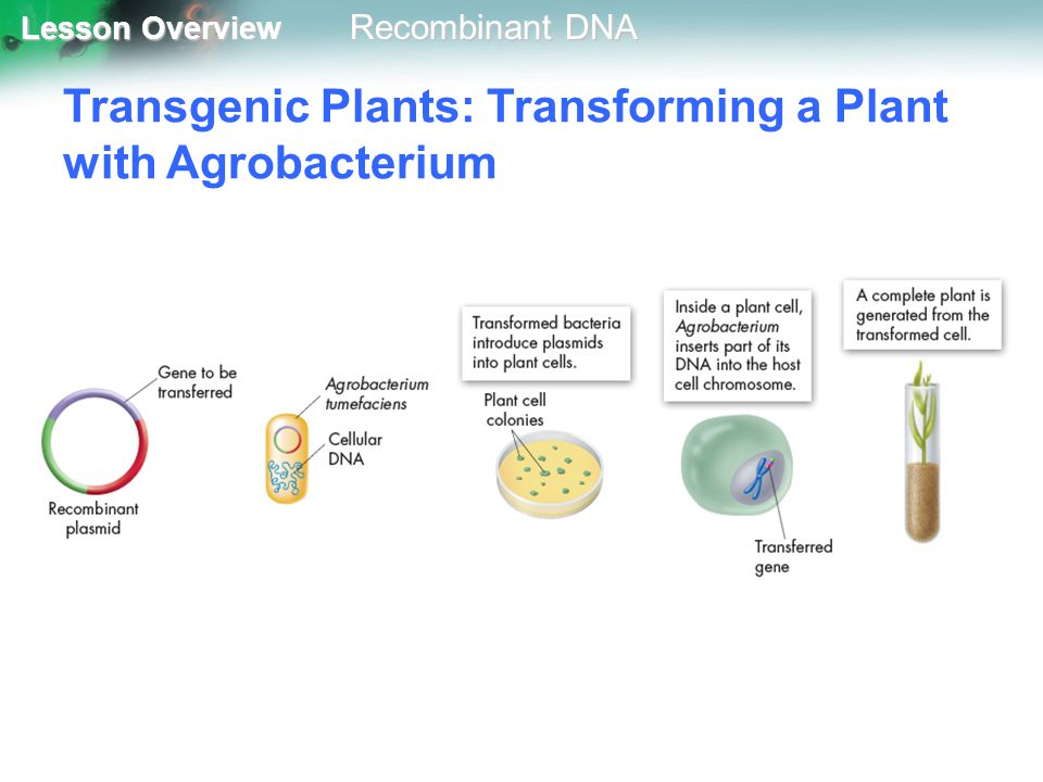 Transgenic Plants: Transforming a Plant with Agrobacterium