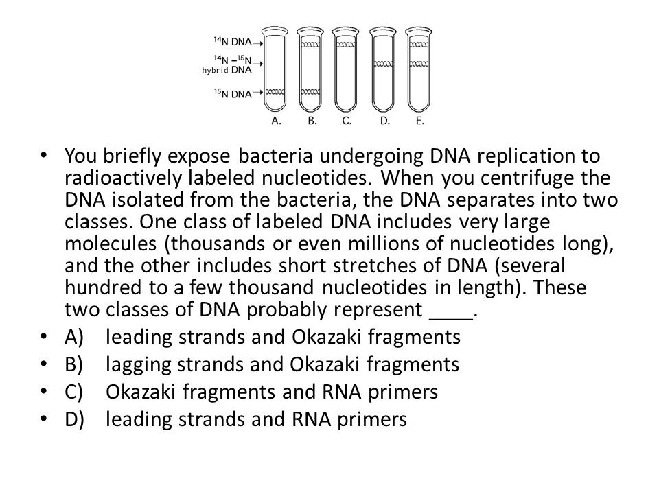 You briefly expose bacteria undergoing DNA replication to radioactively labeled nucleotides. When you centrifuge the DNA isolated from the bacteria, the DNA separates into two classes. One class of labeled DNA includes very large molecules (thousands or even millions of nucleotides long), and the other includes short stretches of DNA (several hundred to a few thousand nucleotides in length). These two classes of DNA probably represent ____.