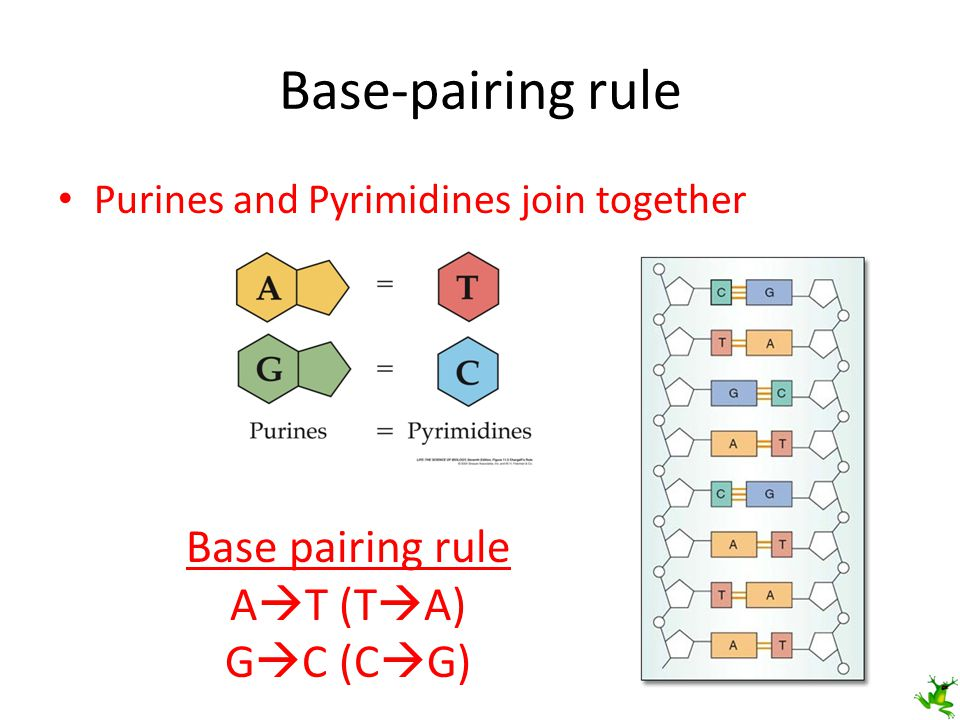 Base-pairing rule Base pairing rule AT (TA) GC (CG)