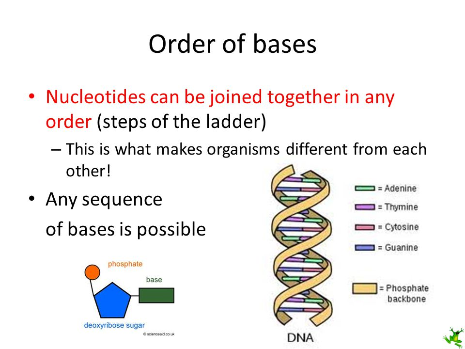 Order of bases Nucleotides can be joined together in any order (steps of the ladder) This is what makes organisms different from each other!