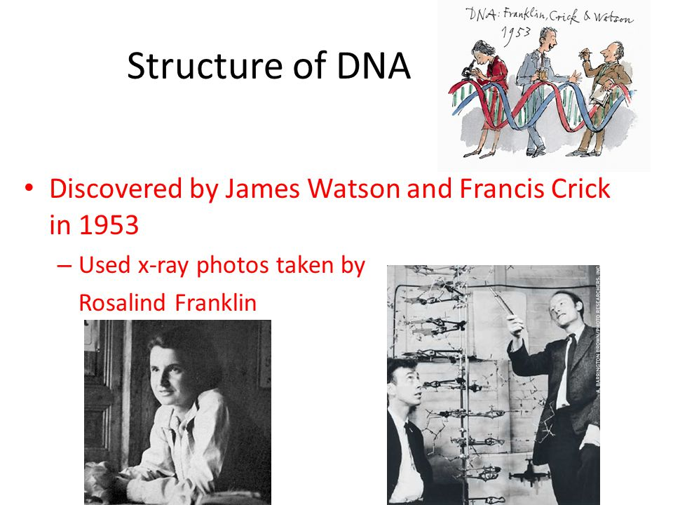 Structure of DNA Discovered by James Watson and Francis Crick in 1953