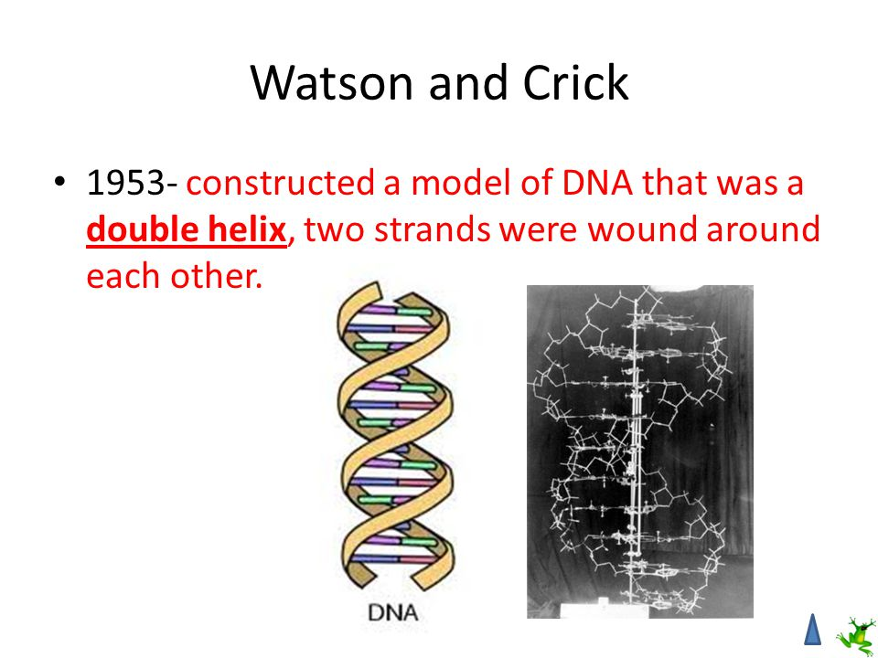 Watson and Crick 1953- constructed a model of DNA that was a double helix, two strands were wound around each other.
