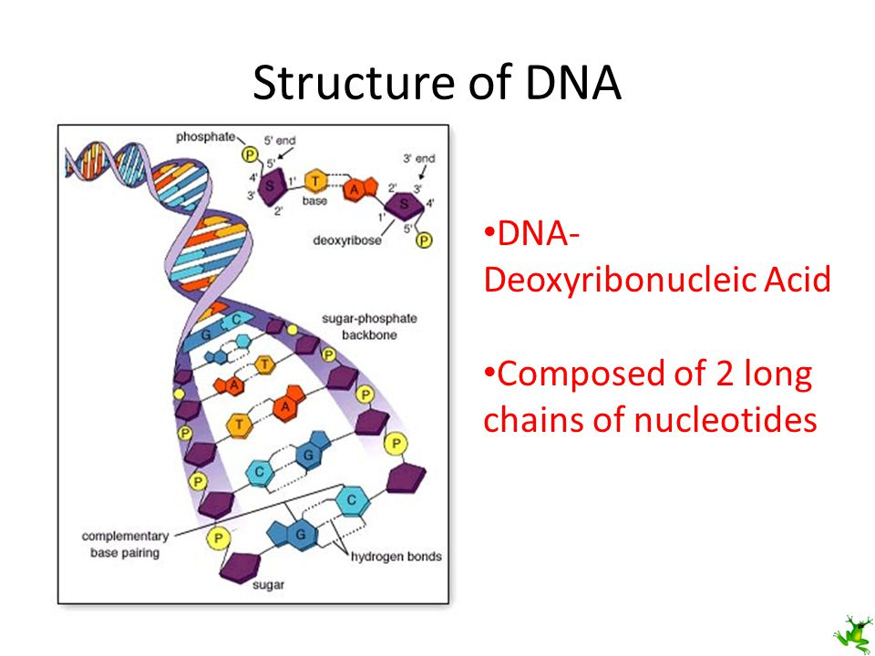 Structure of DNA DNA- Deoxyribonucleic Acid