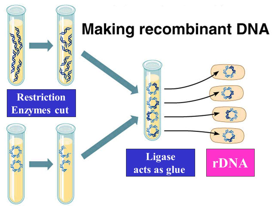 Restriction Enzymes cut Ligase acts as glue rDNA