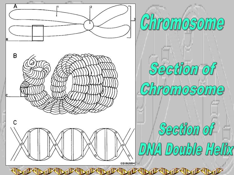 Chromosome Section of Chromosome Section of DNA Double Helix
