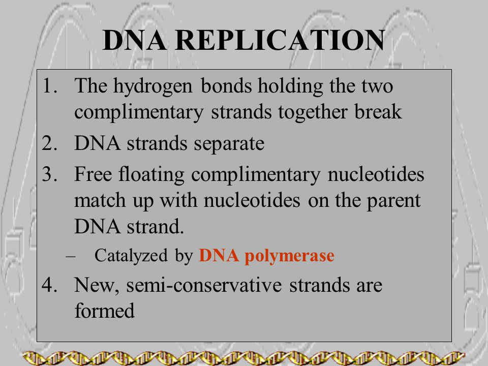 DNA REPLICATION The hydrogen bonds holding the two complimentary strands together break. DNA strands separate.