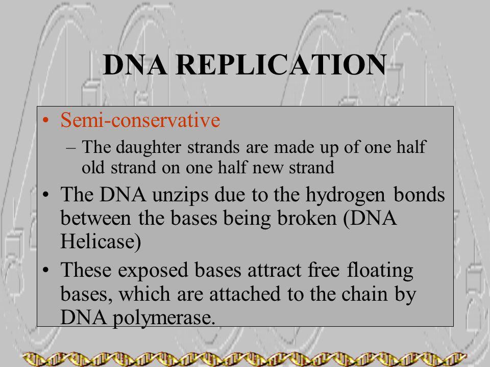 DNA REPLICATION Semi-conservative