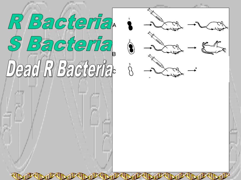 R Bacteria S Bacteria Dead R Bacteria