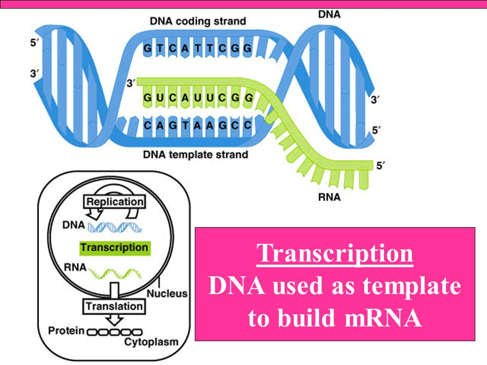 Transcription DNA used as template to build mRNA