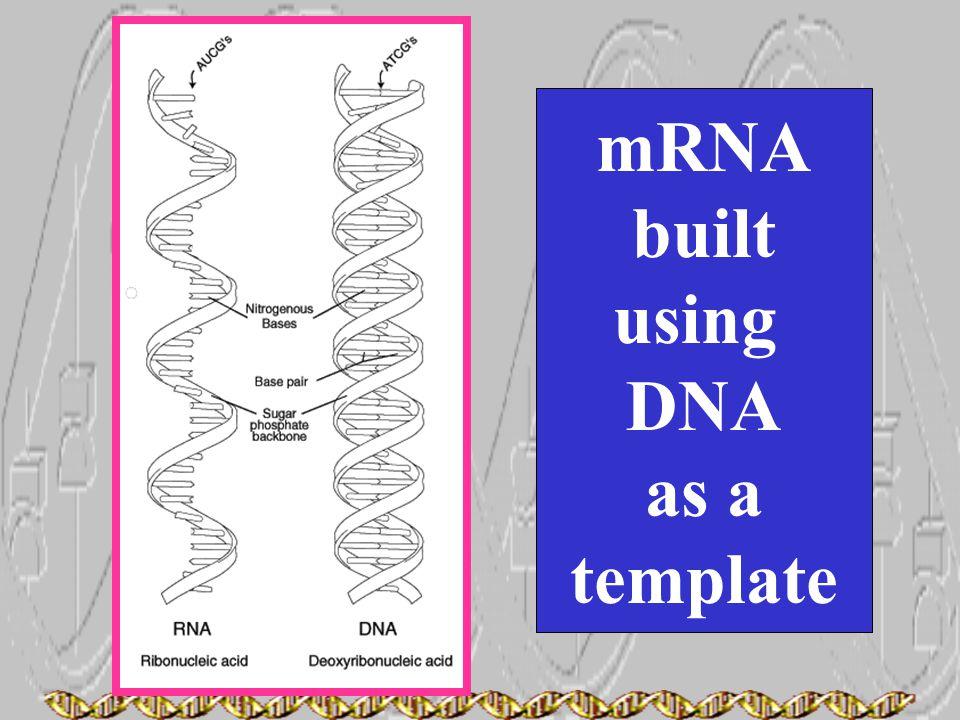 mRNA built using DNA as a template