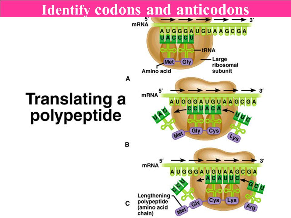 Identify codons and anticodons