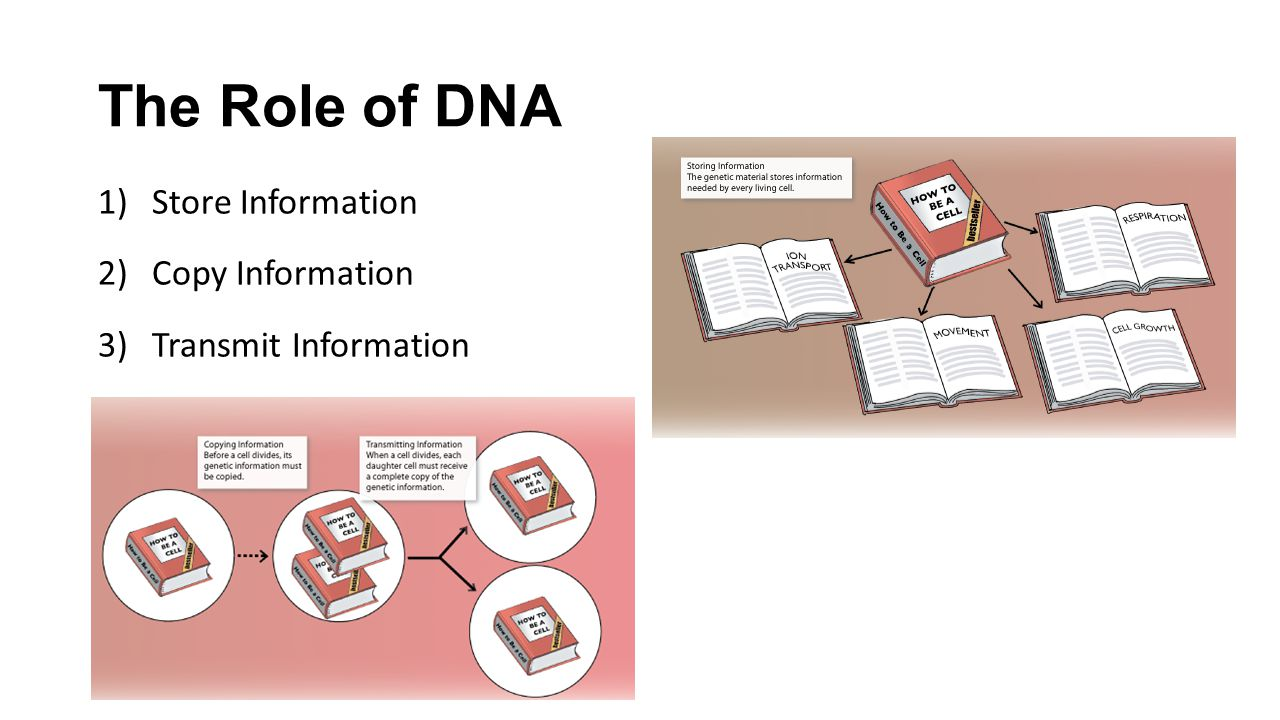 The Role of DNA Store Information Copy Information