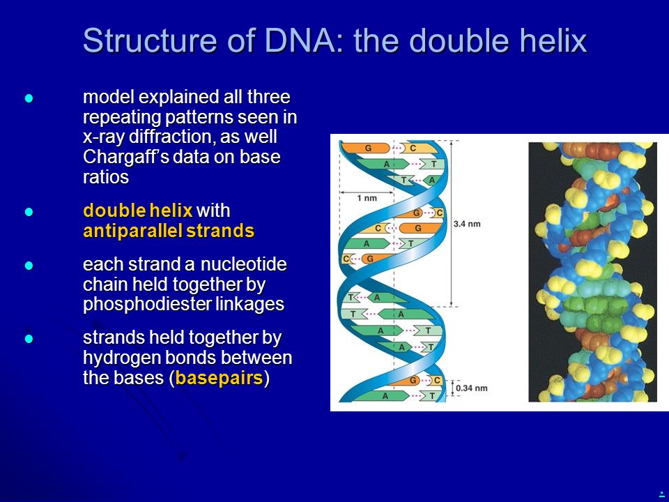 Structure of DNA: the double helix