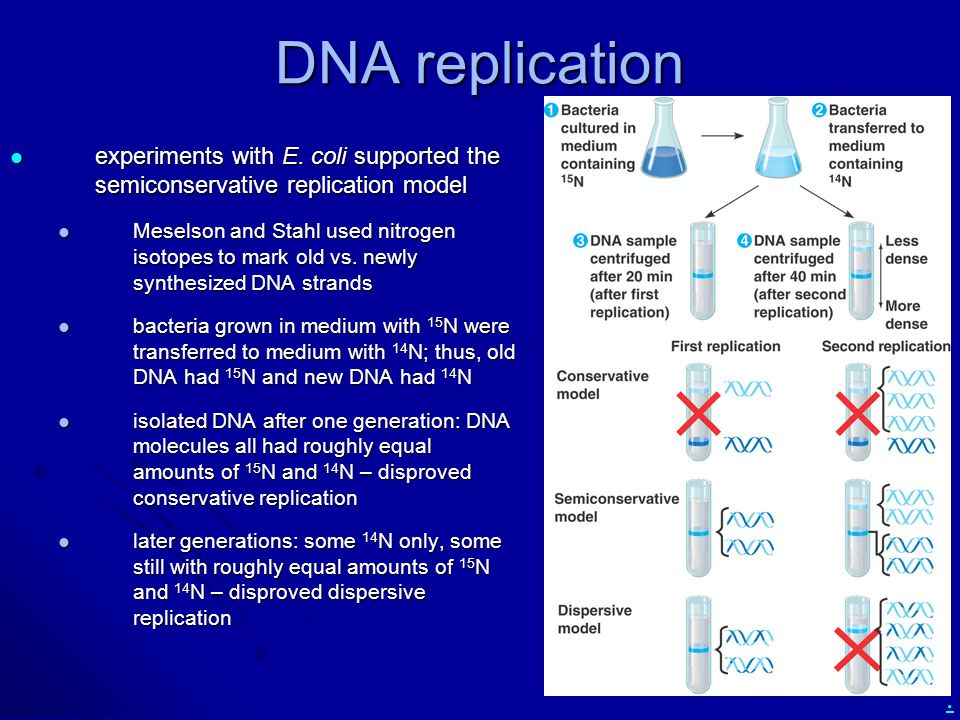 DNA replication experiments with E. coli supported the semiconservative replication model.
