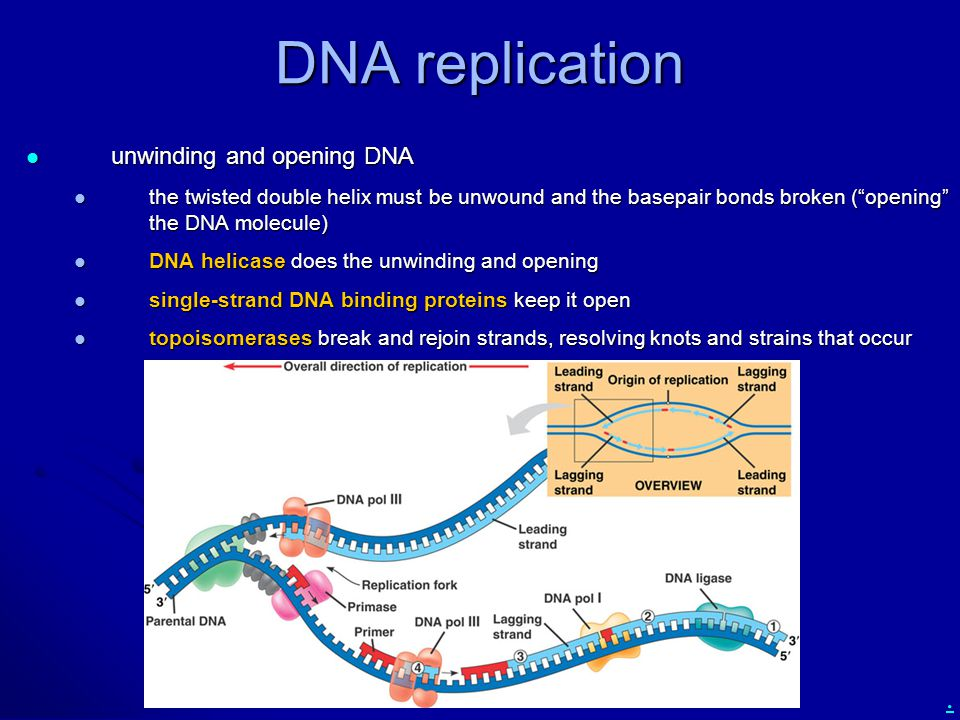 DNA replication unwinding and opening DNA