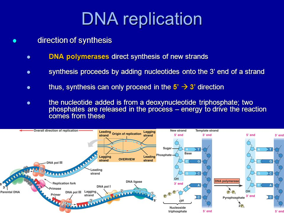 DNA replication direction of synthesis