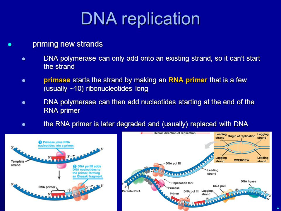 DNA replication priming new strands