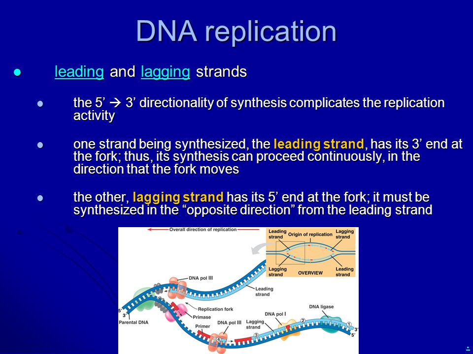 DNA replication leading and lagging strands