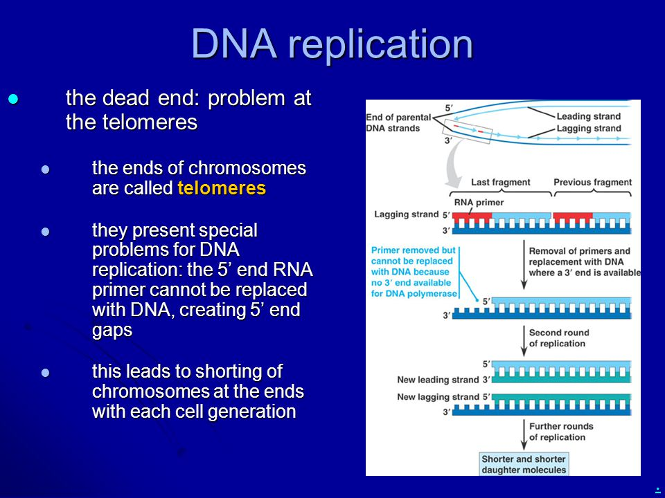 DNA replication the dead end: problem at the telomeres