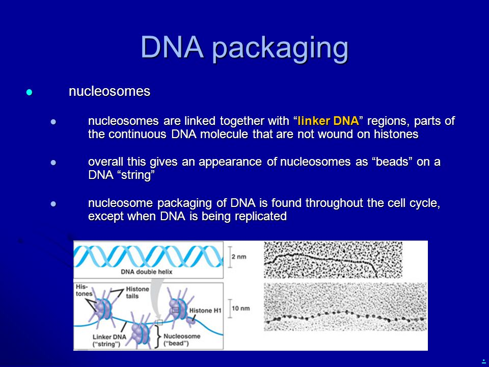 DNA packaging nucleosomes