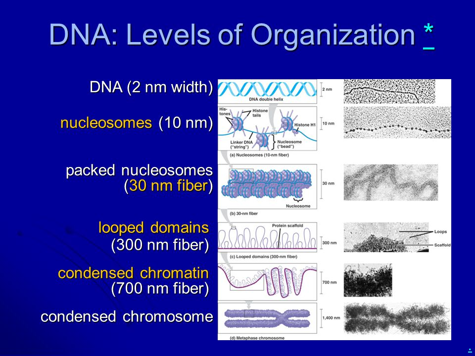 DNA: Levels of Organization *