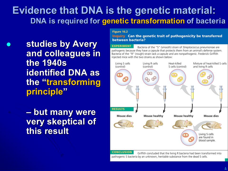 Evidence that DNA is the genetic material: DNA is required for genetic transformation of bacteria