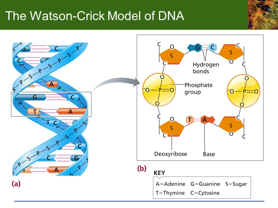 The Watson-Crick Model of DNA
