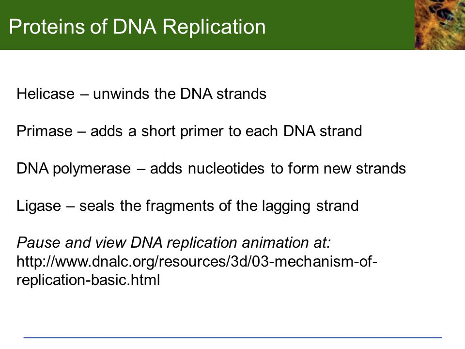Proteins of DNA Replication